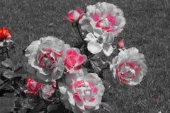 在黑白引起轰动的颜色的美丽的小花- 图库摄影