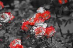 在黑白引起轰动的颜色的美丽的小花- 免版税库存图片