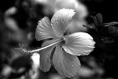 在黑白的一棵白色木槿 库存照片