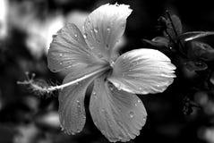 在黑白的一棵白色木槿 免版税图库摄影