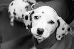在黑白的小狗 免版税库存照片