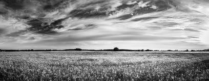 在黑白的抽象麦子背景 夏天草甸和食品成分 免版税图库摄影
