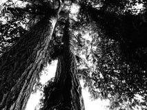 在黑白的树木天棚 库存图片