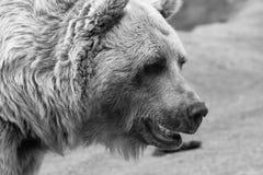 在黑白的熊面孔 图库摄影