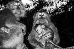 在黑白的猴子画象 库存照片