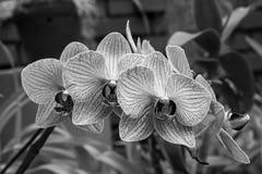 在黑白的白紫罗兰色镶边兰花 免版税库存照片