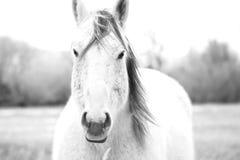 在黑白的蒙大拿马-对峙 免版税库存照片