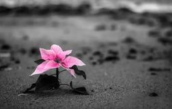 在黑白Bokeh背景的桃红色花 在海滩的花 库存照片