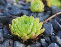 在黑石头中的俄国houseleek植物新芽 库存照片