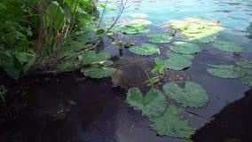在黑维兹湖的睡莲叶在匈牙利 股票视频
