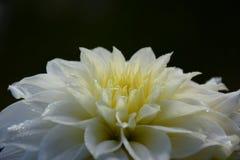 在黑背景与水下落的豪华白色庭院大丽花花隔绝的 库存图片