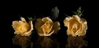 在黑背景和他们的反射的三朵黄色玫瑰 图库摄影