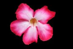 在黑背景和裁减路线的沙漠座莲花或百合美好的桃红色 免版税库存照片