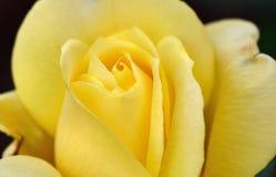 在黑背景的一朵黄色玫瑰 库存图片