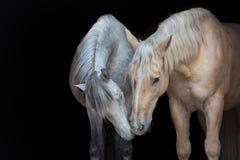 在黑背景的两匹马 库存图片