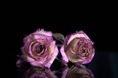 在黑背景的两朵干燥玫瑰 库存图片