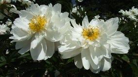 在黑背景的两朵白色牡丹花 免版税库存图片