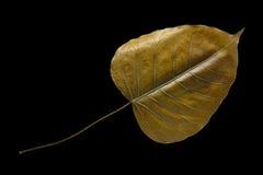 在黑背景的干燥Bodhi叶子 免版税库存图片