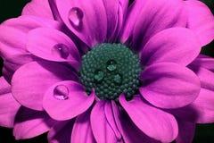 在黑背景的明亮的桃红色菊花特写镜头 与紫色瓣和蓝色中部的美丽的花 库存图片