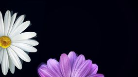 在黑背景的春黄菊 摘要浮动戴西和紫色花的动画在被隔绝的黑背景 向量例证