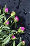 在黑背景的桃红色牡丹 Copyspace 浓缩花的照片 库存图片