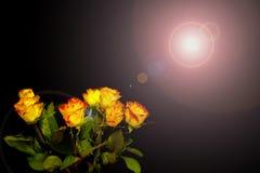 在黑背景的橙黄色玫瑰,与光反射 免版税库存图片
