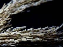 在黑背景的水稻 水稻的耳朵 复制文本的空间 图库摄影