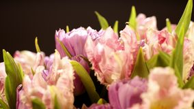 在黑背景的浅粉红色的郁金香 桃红色郁金香花束在黑背景的 从卷曲的美丽的花束 影视素材