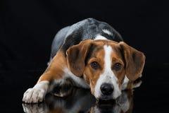 在黑背景的混杂的品种狗 库存照片