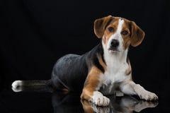 在黑背景的混杂的品种狗 免版税库存照片