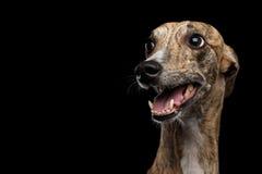 在黑背景的滑稽的Whippet狗 库存图片