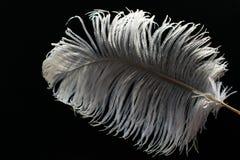 在黑背景的白色大驼鸟羽毛 免版税库存图片