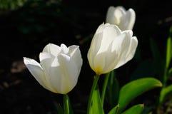 在黑背景的白色郁金香 库存图片