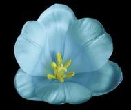 在黑背景的绿松石蓝色郁金香花与没有阴影的裁减路线 特写镜头 对设计 免版税库存图片