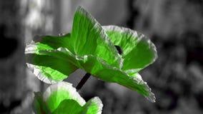 在黑背景的绿色鸦片 昆虫在花附近振翼 对比,在黑背景的绿色 股票视频