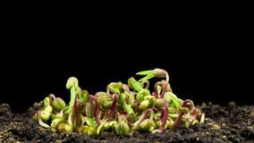 在黑背景的绿豆萌芽 影视素材