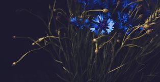 在黑背景的美丽的蓝色矢车菊花 抽象花卉 艺术样式 开花夏天植物的元素 葡萄酒 库存图片