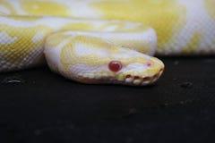 在黑背景的黄色白变种蛇 库存照片