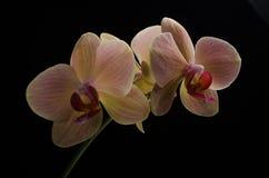 在黑背景隔绝的一朵桃红色兰花的花 库存照片