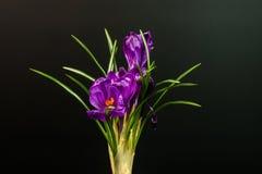 在黑背景隔绝的几朵番红花花 库存图片