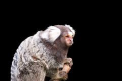 在黑背景隔绝的小猿 免版税库存照片