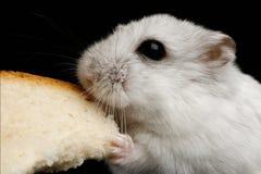 在黑背景隔绝的小的白色仓鼠 免版税库存照片