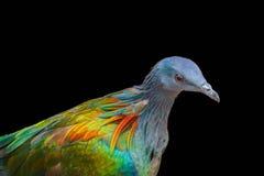 在黑背景隔绝的尼科巴鸽子 免版税图库摄影