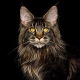 在黑背景隔绝的巨大的缅因树狸猫 免版税库存照片