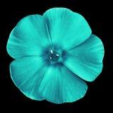 在黑背景隔绝的花水色天蓝的福禄考 特写镜头 响铃圣诞节设计要素 免版税库存照片