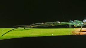 在黑背景隔绝的草的绿色蜘蛛伪装 免版税库存照片