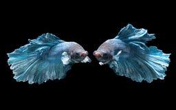 在黑背景隔绝的蓝色战斗的鱼的情感 库存图片