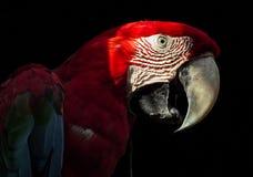 在黑背景隔绝的金刚鹦鹉 库存图片