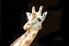 在黑背景隔绝的长颈鹿 库存图片