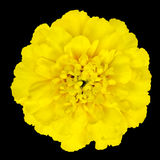 在黑背景隔绝的黄色万寿菊花 免版税库存照片
